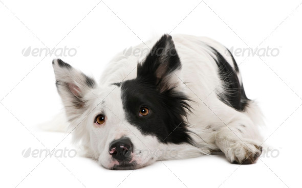 Border collie, 4 years old, in front of white background - Stock Photo - Images