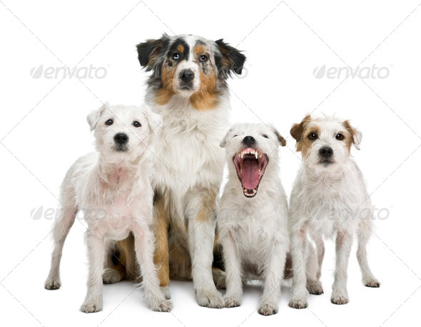 Group of parson russel terriers and an Australian shepherd, in front of white background - Stock Photo - Images