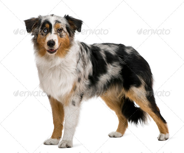 Australian shepherd, 6 months old, in front of white background - Stock Photo - Images