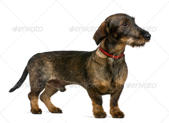 Dachshund, 9 months old, in front of white background - Stock Photo - Images