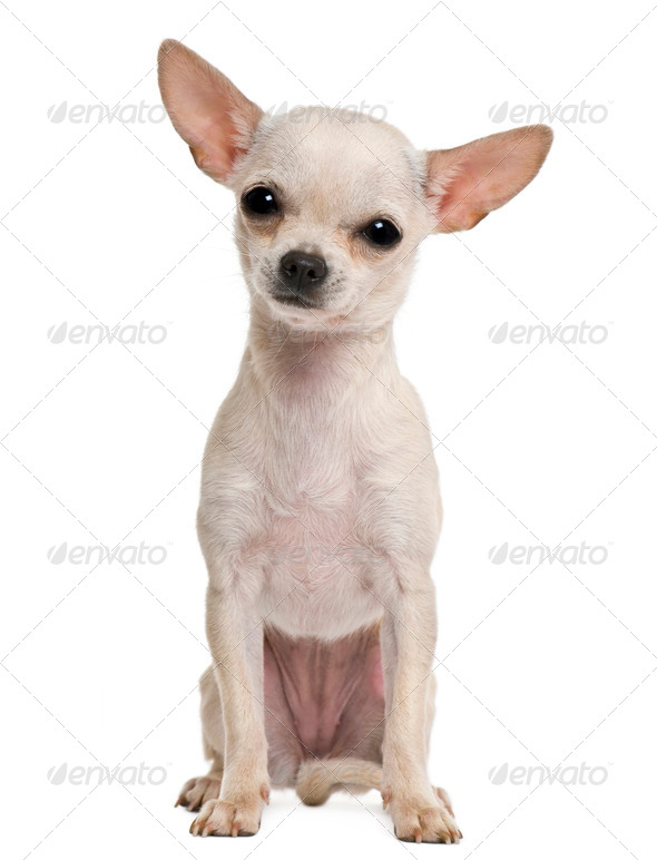 Chihuahua puppy, 7 months old, in front of white background - Stock Photo - Images