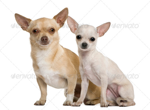 Two chihuahuas, 2 years and 7 months old, in front of white background - Stock Photo - Images