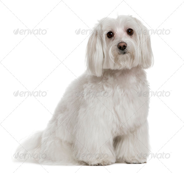 Maltese, 3 years old, in front of white background - Stock Photo - Images