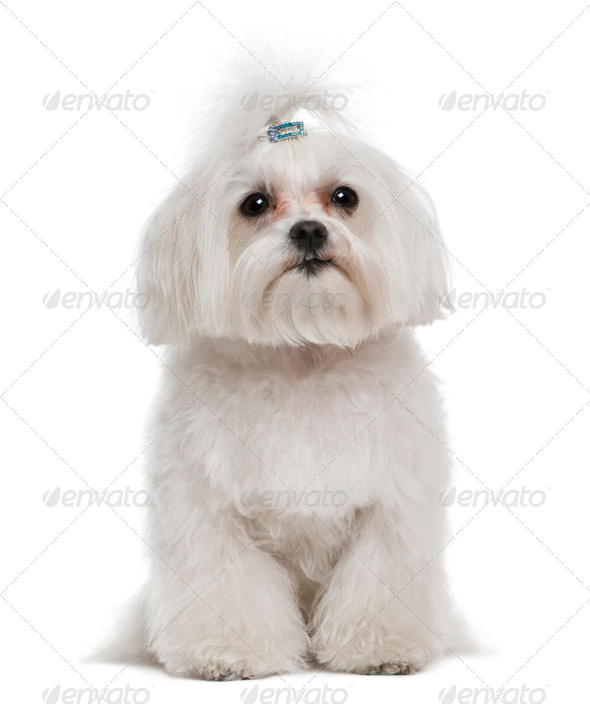Bichon fris?©, 7 years old, in front of white background - Stock Photo - Images