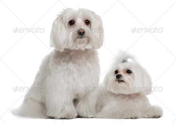 Bichon fris?© and a Maltese, 7 years and 3 years old, in front of white background - Stock Photo - Images