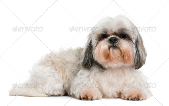 Shih Tzu, 8 years old, in front of white background - Stock Photo - Images