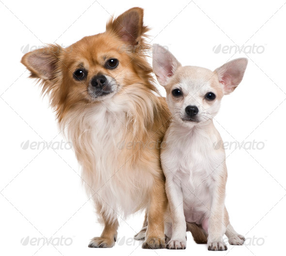 Two chihuahuas, 3 years old and puppy of 5 months, in front of white background - Stock Photo - Images