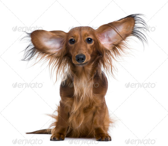 Dachshund, 2 years old, with ears in the air, in front of white background - Stock Photo - Images