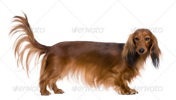 Dachshund, 2 years old, in front of white background - Stock Photo - Images