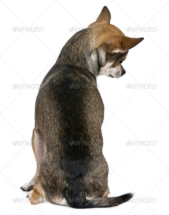 Chihuahua, 3 years old, sitting, rear view in front of white background - Stock Photo - Images