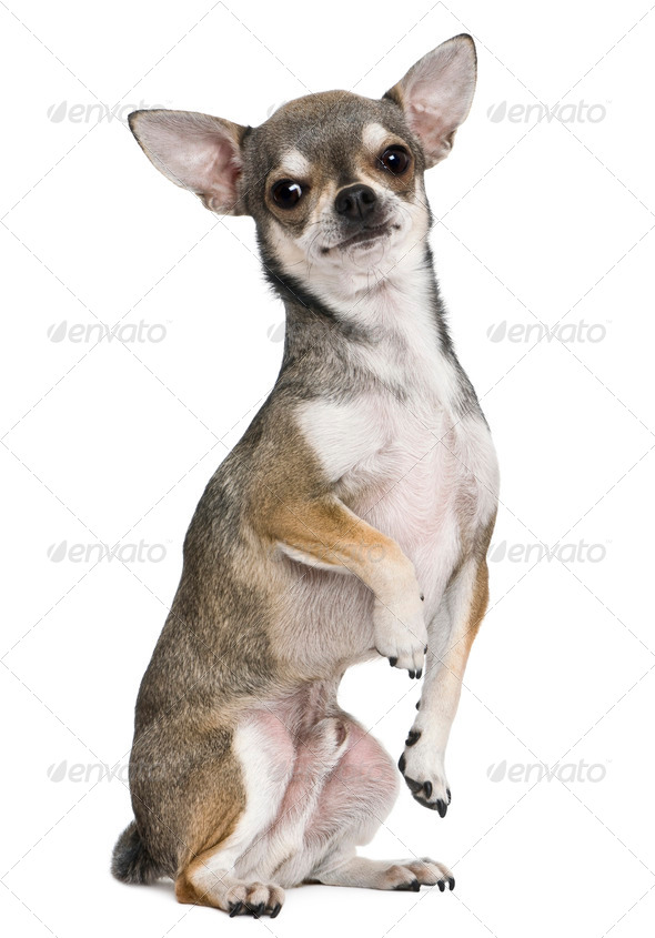 Chihuahua, 3 years old, on hind legs, in front of white background - Stock Photo - Images