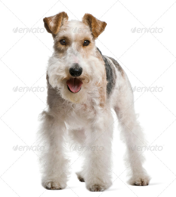 Fox terrier, 4 yeas old, in front of white background - Stock Photo - Images