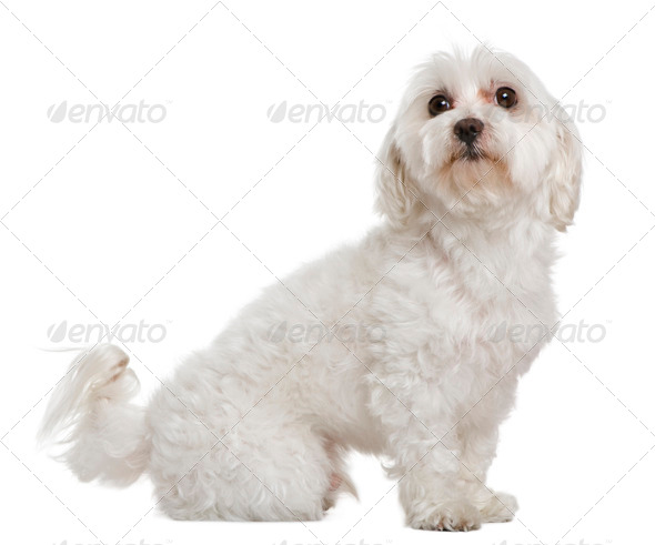 Maltese, 6 years old, in front of white background - Stock Photo - Images
