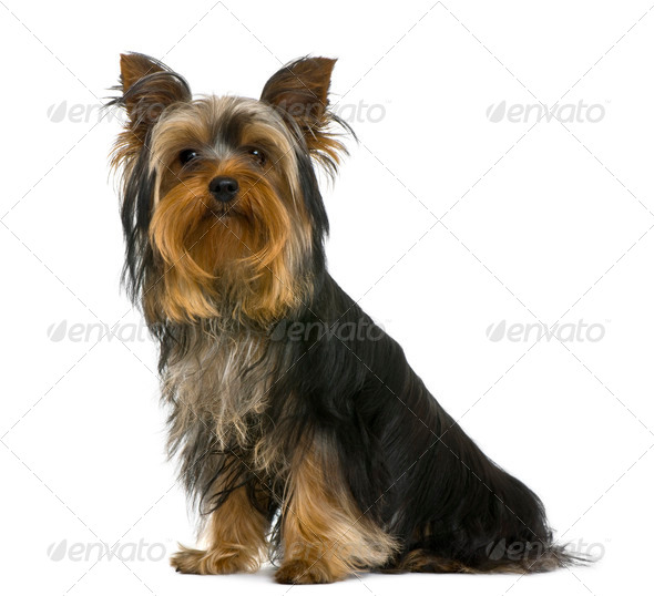 Yorkshire terrier, 7 months old, in front of white background - Stock Photo - Images