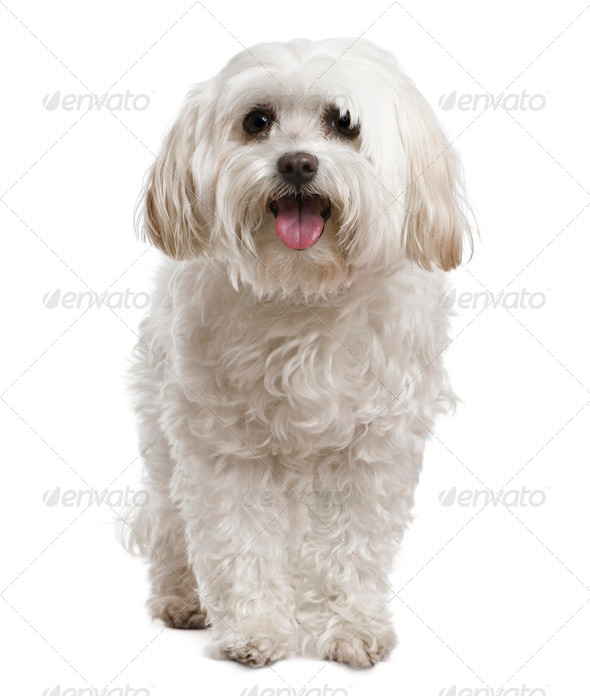 Maltese, 2 years old, in front of white background - Stock Photo - Images