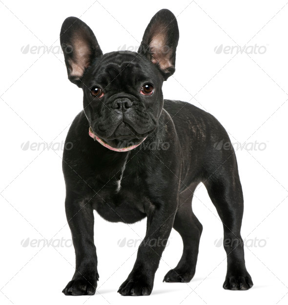 French bulldog puppy, 4 months old, in front of white background - Stock Photo - Images