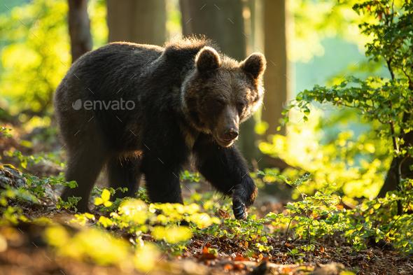 Dangerous brown bear walking in summer nature at sunrise - Stock Photo - Images