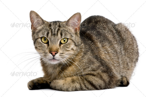 European tiger cat, 13 months old, in front of white background - Stock Photo - Images