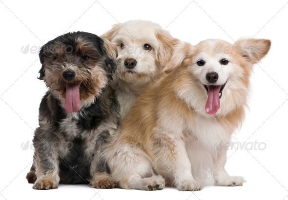 Group of mixed-breeds, in front of white background - Stock Photo - Images
