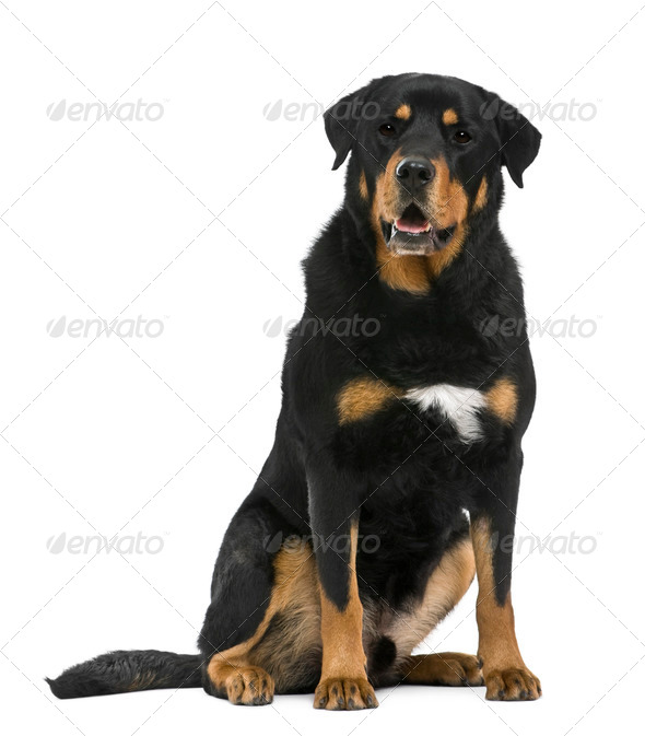 Mixed-breed, 5 years old, in front of white background - Stock Photo - Images