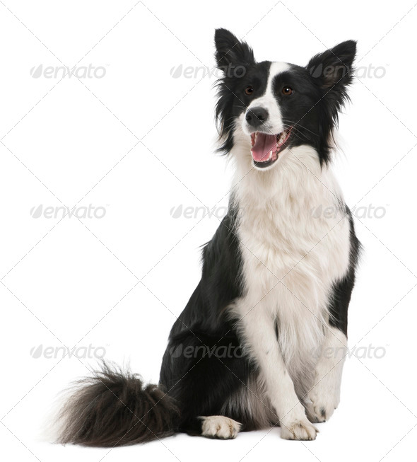 Border collie, 18 months old, in front of white background - Stock Photo - Images