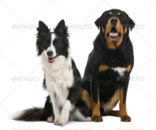 Mixed-breed 5 years old and border collie, 18 months old, in front of white background - Stock Photo - Images