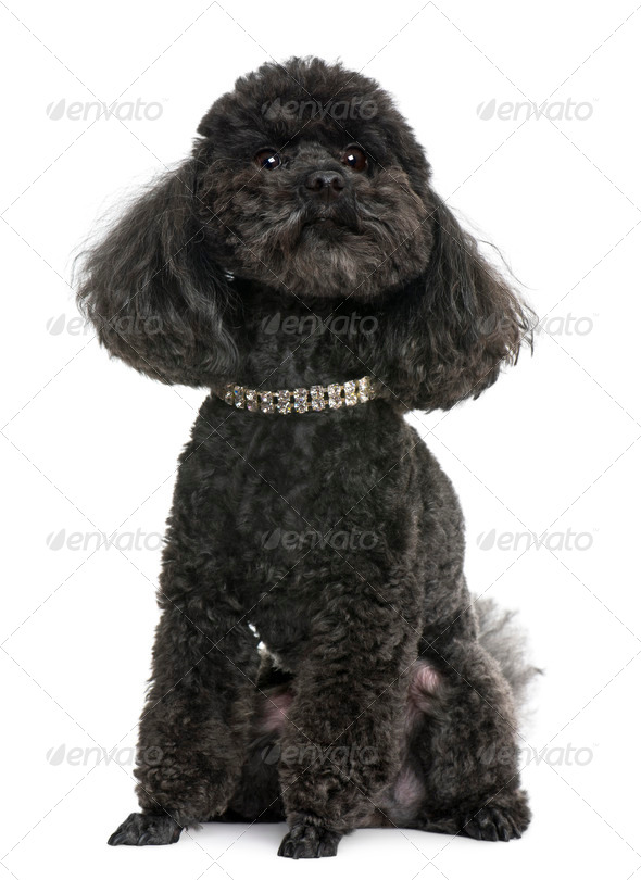 Poodle, 5 years old, with diamond collar, in front of white background - Stock Photo - Images