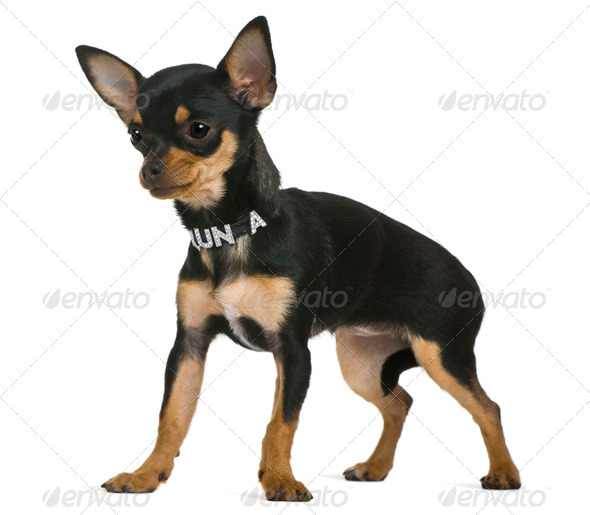 Chihuahua puppy, 6 months old, in front of white background - Stock Photo - Images