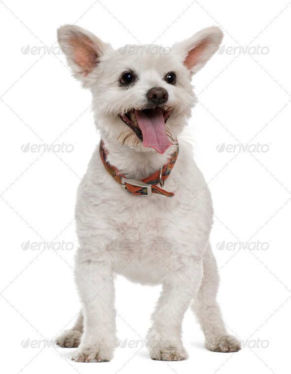 Mixed-breed, 16 years old, in front of white background - Stock Photo - Images
