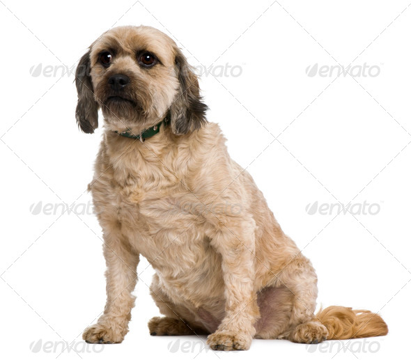 Mixed-breed, 4 years old, in front of white background - Stock Photo - Images