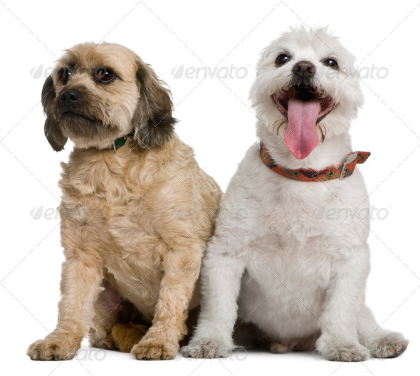 Two mixed-breeds, 4 and 16 years old, in front of white background - Stock Photo - Images