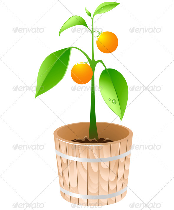 Orange Tree in a Wooden Tub - Flowers & Plants Nature