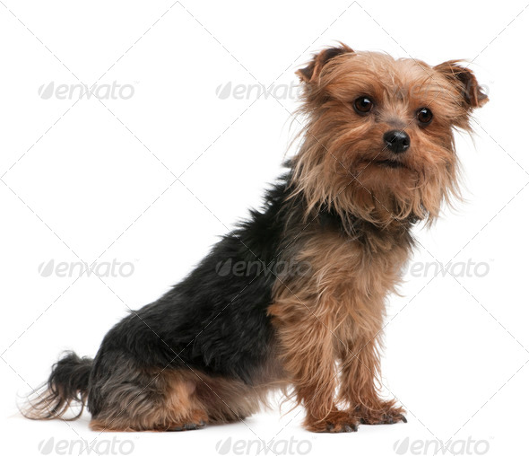 Yorkshire terrier, side view, looking away - Stock Photo - Images
