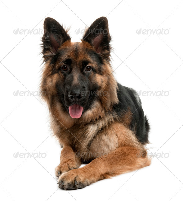 German Shepherd, 10 months old, sitting in front of white background - Stock Photo - Images