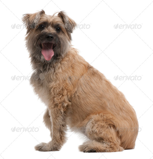 Pyrenean Shepherd, 8 years old, sitting in front of white background - Stock Photo - Images