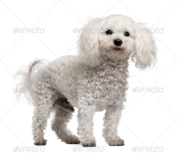 Bichon frise, 12 years old, standing in front of white background - Stock Photo - Images