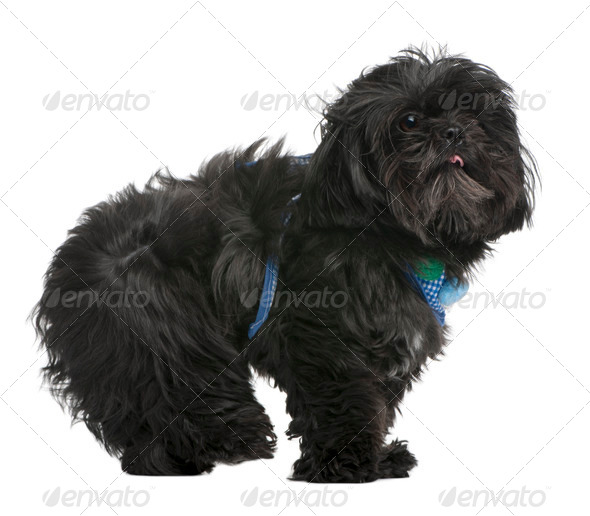 Shih Tzu, 5 years old, standing in front of white background - Stock Photo - Images