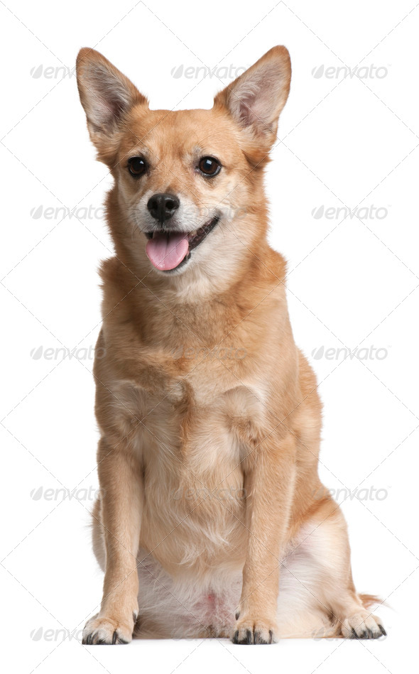 Mixed-breed, 9 years old, sitting in front of white background - Stock Photo - Images