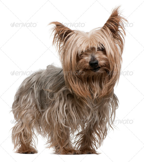 Yorkshire Terrier, 10 years old, standing in front of white background - Stock Photo - Images