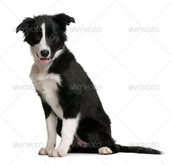 Border Collie puppy, 4 months old, sitting in front of white background - Stock Photo - Images