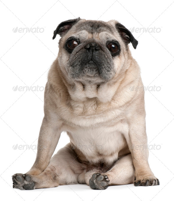 Old Pug, 10 years old, sitting in front of white background - Stock Photo - Images