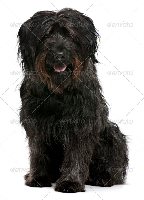 Catalan sheepdog, 6 years old, sitting in front of white background - Stock Photo - Images
