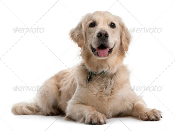Golden Retriever, 4 years old, lying in front of white background - Stock Photo - Images