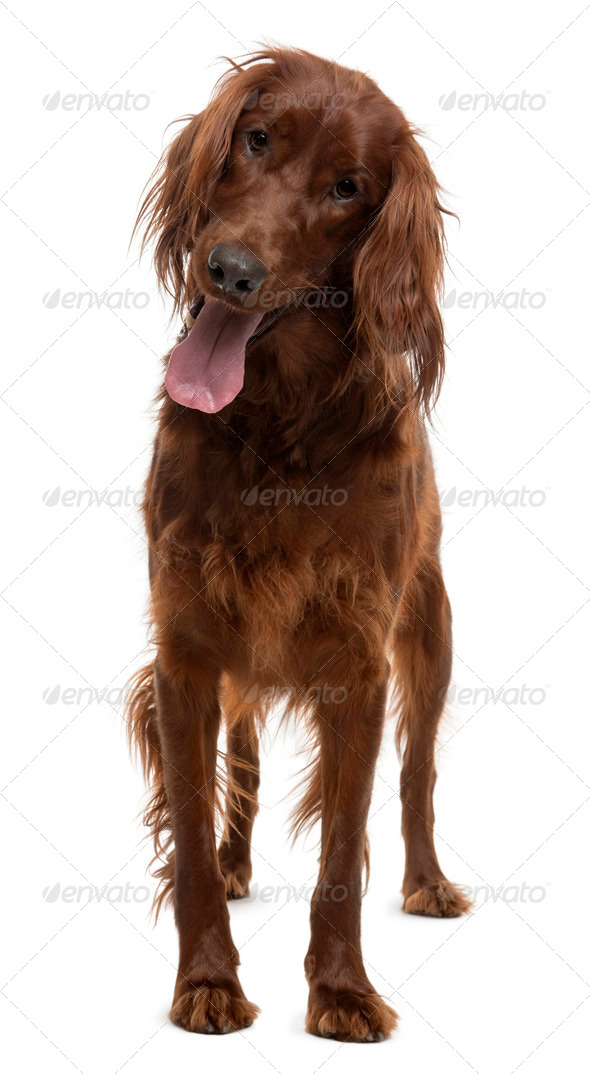Irish Setter, 2 years old, standing in front of white background - Stock Photo - Images
