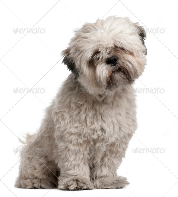Lhasa Apso, 14 months old, sitting in front of white background - Stock Photo - Images