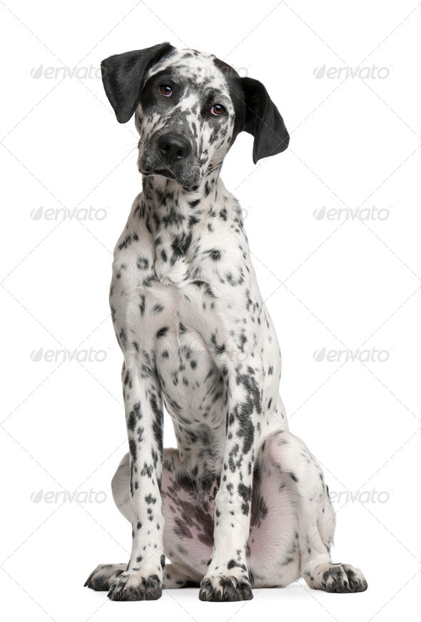 Mixed-breed puppy, 6 months old, sitting in front of white background - Stock Photo - Images