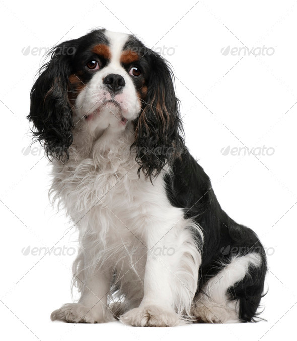 Cavalier King Charles Spaniel, 5 years old, sitting in front of white background - Stock Photo - Images