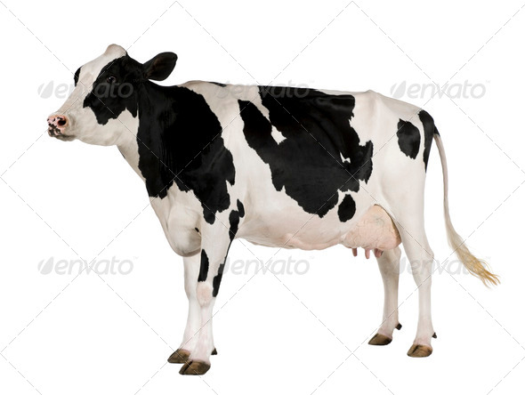 Holstein cow, 5 years old, standing against white background - Stock Photo - Images