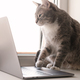 Focused, serious cat works remotely on a laptop, sitting on a windowsill by the window at home - PhotoDune Item for Sale