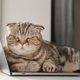 Dissatisfied cat from lack of attention lay down on the laptop and prevents the owner from working - PhotoDune Item for Sale